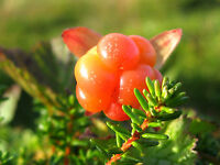 Moltebeere - Cloudberry - Rubus chamaemorus 5+ Samen