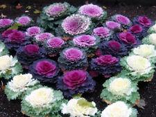 12 Brassica Nagoya Red/White/Rose Labelled Mix Ornamental Kale Mini Plug Plants