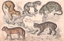 5 BIG WILD CATS original 1860's handpainted engraving