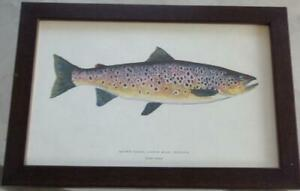 Artwork Print – Brown Trout – Lough Mask, Ireland – PROFESSIONALLY FRAMED