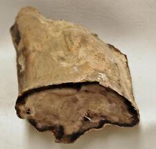 Petrified Wood OAK Oregon Polished Driftwood Limb Fossil
