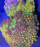 Lg Multi Color Zoanthid Colony (Buy 3 for $68.00 each) Assorted Live Coral