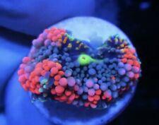 New listing Live Coral Dreef Rainbow Ricordea Mushroom, Zoa, Wysiwyg