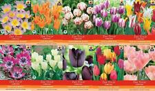 Spring Bulbs Tulip Tulips Flower Dutch Plant Bulbs Bargain