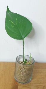 1 Leaf Golden Pothos Trailing Vine Plant Cutting Devils Ivy with roots