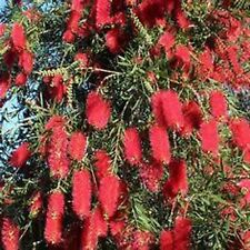 RED WILLOW BOTTLEBRUSH SEEDS NATIVE FLOWERING TREE CALLISTEMON 300 SEED PACK
