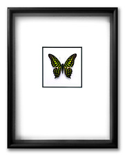 """REAL FRAMED BUTTERFLY - Graphium Agamemnon Andamana - ART OF INSECTS 11"""" x 14"""" 1"""