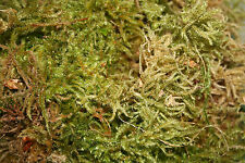 Hypnales Feather Moss, 2.5 ltr Live ~ Pollywog Frog Newt Gecko Reptile Substrate