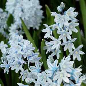 50 x RUSSIAN SNOWDROPS - PUSCHKINIA Libanotica Bulbs-  Spring Flowering Bulbs