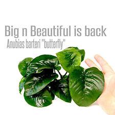 Anubias Barteri 'Butterfly' Easy Rare Pot Nana Freshwater Live Aquarium Plants