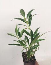 10 Sarcococca hookeriana var. humilis, Evergreen shrubs, Fragrant flowers