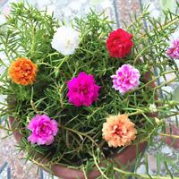 Portulaca Flowers Bonsai Garden Grandiflora Plants Potted NEW 2019 100 Pcs Seeds