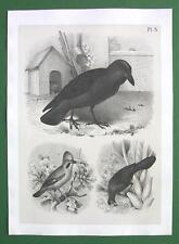 BIRDS Noble Raven Jay Banana Eater - Antique Litho Print