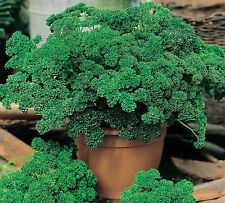 Parsley Seeds- Moss Green Curled- 1,000+ 2015 Seeds     $1.69 Max Shipping/order