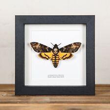 More details for deaths head hawk moth in black or white box frame (acherontia atropos) taxidermy