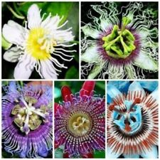 Passion Flower (Passiflora Incarnata) Seed,Tropical Flower Mix Color - 20 Seeds