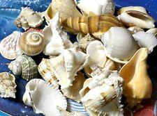 1 KILO LARGE MIX  SEA SHELLS  BEACH DECOR NAUTICAL CRAFT TROPICAL