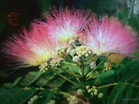 "2 Mimosa  Trees Aka. Silk Tree 12-24"" Beautiful Blooms Tropical Look,Live Trees"