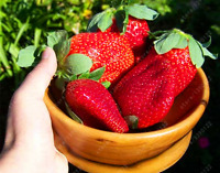 300/bag Giant Strawberry Seeds, Rare, Big as a Peach, Fragaria ananassa L