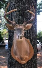Beautiful 8Point Whitetail Deer Head Shoulder Mount Taxidermy Mounted pls Read