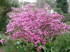 Azalea mucronulatum or Rhododendron mucronulatum 50 seeds