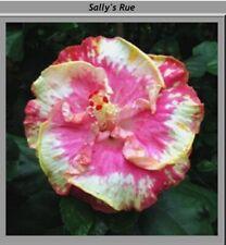 1 bouture hibiscus cutting Sally rue