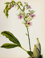 Vintage Botanical Flower Print Pink Orchid Wall Art Cottage Decor Calanthe 1736