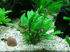 2 pot de cryptocoryne wendtii  verte  plante aquarium rare  discus nano bac