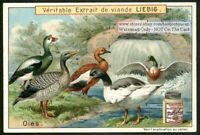 BIRDS: Geese Goose Water Fowl  Oies NICE 1896 Card