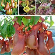 20Pcs Seeds Pitcher Plant Purpurea Foliage Carnivorous Shades Flower Garden FS