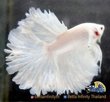 (Limitid Luxury) Premium Live Betta Fish : Male Rose Tail White Platinum