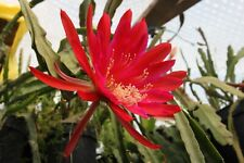 "Epiphyllum Blattkakteen Epicactus ""Hacienda Cusin"" Steckling"