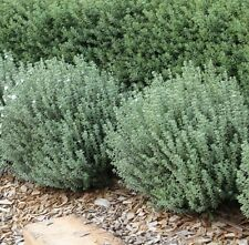 GREY BOX Westringia fruticosa native hardy low hedge plant in 140mm pot
