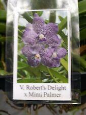 Orchid Vanda Robert's Delight x Mimi Palmer Mad Happenings Special Plant