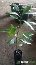 Pianta Albero avocado Aguacate Hass