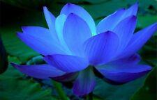 5 SAPPHIRE BLUE LOTUS Seeds