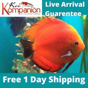 "1/2/3X Red Marlboro Discus Fish 2-3"" Aquarium Koi Kompanion Free 1 Day Shipping"