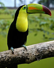 YELLOW-THROATED TOUCAN Ramphastidae Glossy 8x10 Photo Print Poster Bird