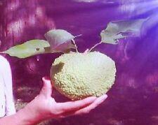 Blaugurke Stecklinge Pflanzen Duftstrauch Duftstaude Obst für den Balkon Garten