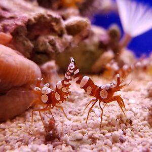 SEXY SHRIMP (Thor amboinensis) Marine Aquarium  Wickford, Essex)