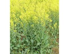 3Lb Canola Food Plot Seed 750,000 Seeds