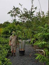 BAMBOO OLDHAMII SALE ONLY $179 CHEAP BAMBUSA  PLANTS GOLD COAST NURSERY