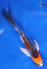 """New listing 4"""" KUJAKU Imported Butterfly Koi live fish nextdaykoi NDK"""