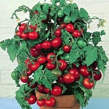 Tomato Seeds, Tiny Tim - Non-Gmo Heirloom Tomato Seeds Grows One Foot Tall 50ct