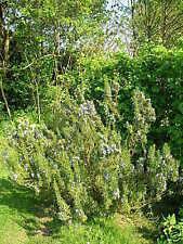 Herb - Rosemary - 200 Seeds
