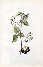 Stampa antica fiori MORELLA Solanum nigrum botanica 1878 Old Print flowers