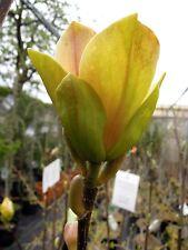 Magnolia Sunsation, Magnolienneuheit, 100-120cm