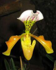 Orchid flask paph gratrixianum Paphiopedilum species limited availability