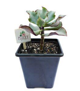 Crassula Arborescens Undulatifolia Succulent House Plant Evergreen Indoor