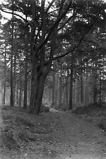1910s NEAR ESHER #1 Woodland Antique Photographic Glass Negative (Trees Surrey)